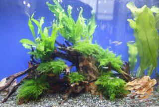 流木は水槽レイアウトの必需品!種類やあく抜き方法、浮くときの対処法!
