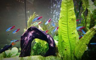 ネオンテトラと一緒に飼える魚や生き物は何がいる?