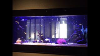 【見た目は海水魚!?】アフリカンシクリッドのレイアウト水槽について