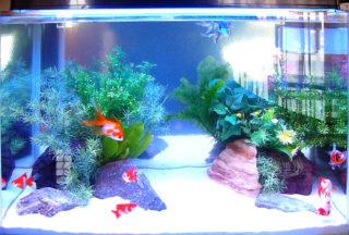 【金魚水槽のレイアウト】おしゃれな金魚水槽事例を5つご紹介します