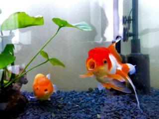 金魚水槽に水槽用クーラーは必要?飼育環境に合わせて回答!