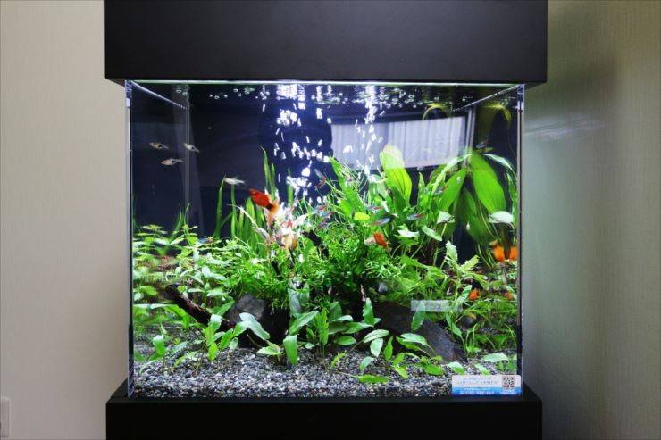 魚の色が薄くなってきた!?熱帯魚や金魚の色揚げ方法を解説!