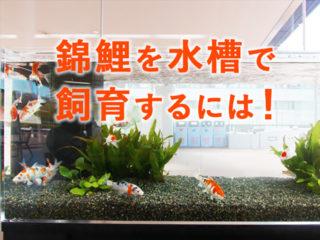 水槽で錦鯉を飼う!?飼育方法や水槽飼育のポイント、注意点とは