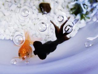 熱帯魚水槽の酸欠とは?酸欠が起きると魚はどうなる?対策方法も!