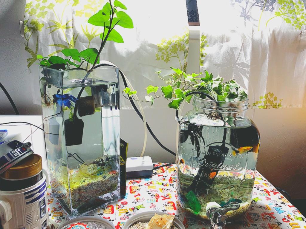 水換え不要のアクアポニックスを紹介飼える魚や育てる植物は何