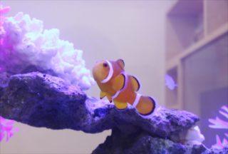 【かわいい熱帯魚】ニモ(カクレクマノミ)の水槽レイアウト事例