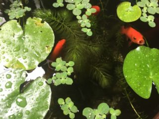 金魚水槽の水温を下げる方法とは!金魚水槽の夏の暑さ対策を紹介!