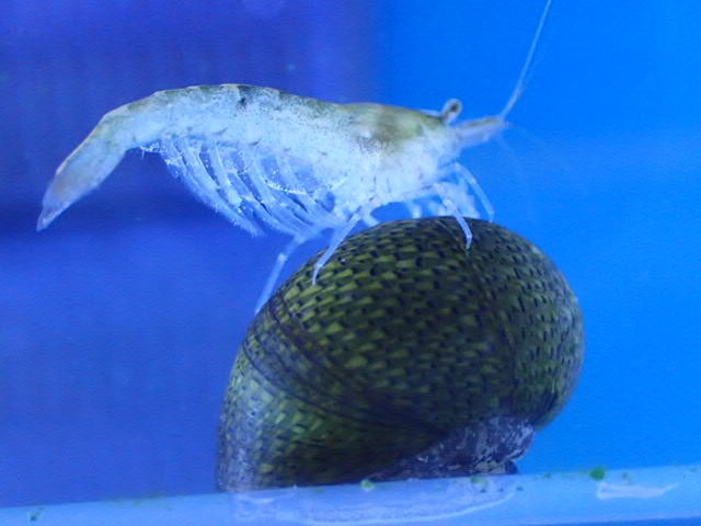 ボトルアクアリウムに入れるおすすめな熱帯魚やエビ、貝の種類や特徴とは