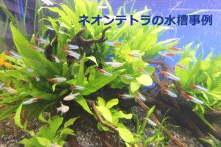 【輝く熱帯魚】ネオンテトラの水槽レイアウト事例をご紹介します