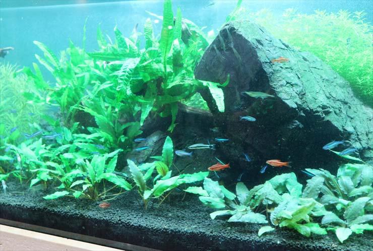 まとめ・安くて丈夫な水草!グリーンロタラの育て方、増やし方、種類など全て教えます!
