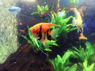 赤い熱帯魚のおすすめベスト5!水槽の主役はこれで決まりだ!