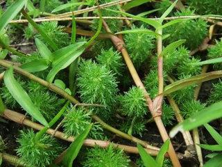 田んぼに生えている水草を育てよう!どんな種類が採取できる?