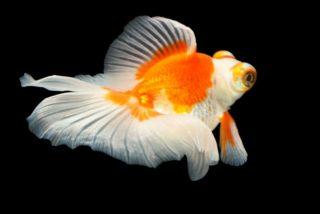珍しい金魚の種類ベスト10!高価な金魚から新品種まで美しい金魚をご紹介!