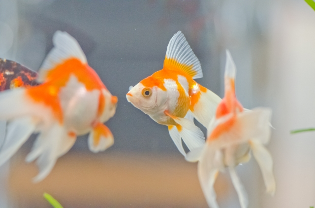 【プロが解説!!】金魚や熱帯魚を早く簡単に大きく育てる方法!9つのポイント