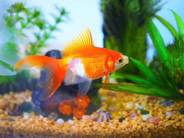 まとめ・金魚がたまごを生んだ!金魚の繁殖と産卵時期、稚魚の育て方について