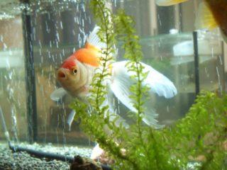 金魚がたまごを生んだ!繁殖と産卵時期、稚魚の育て方とは