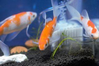 【プロが選ぶ】金魚の人気が高くて飼いやすい種類ベスト10!