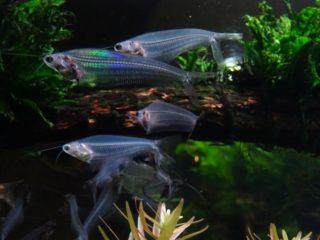 淡水水槽に入れたい、透明な熱帯魚ベスト5!飼育方法までプロが徹底解説!