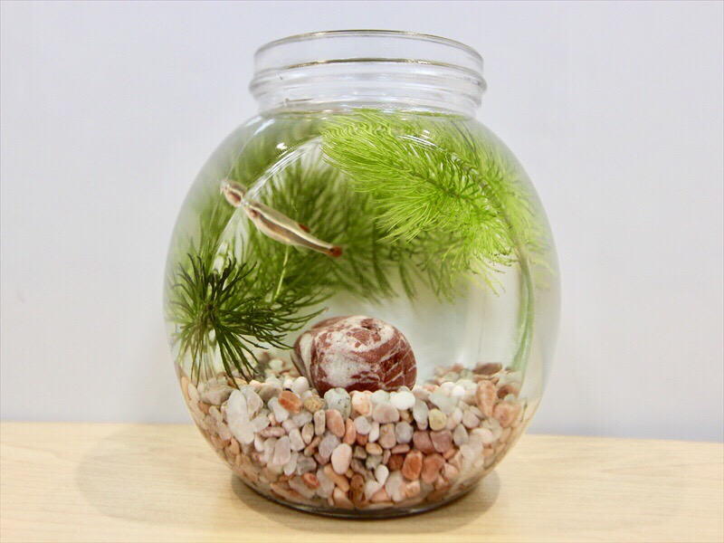 ボトルアクアリウムに入れるおすすめな熱帯魚やエビ、貝ベスト10