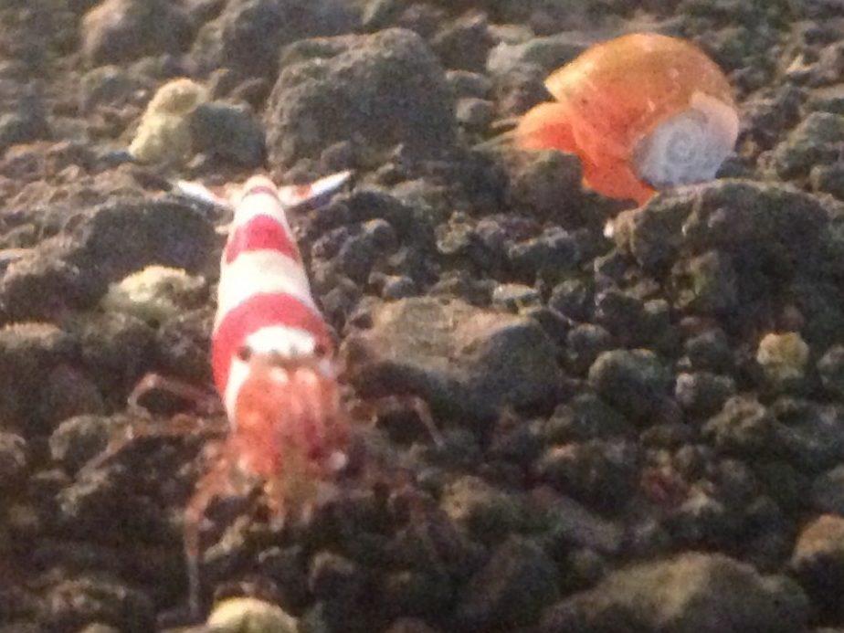 熱帯魚初心者でも簡単!エビのおすすめ種類と飼育方法を紹介!