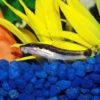 【初心者向け】オトシンクルスの飼育方法!混泳、種類、エサ、水温まとめ