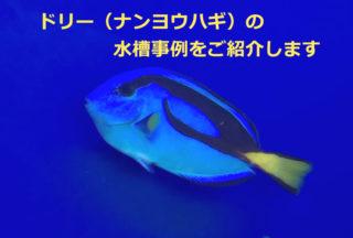 【大人気映画の主役】ドリーことナンヨウハギの水槽レイアウト事例