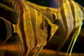 【完全版】エンゼルフィッシュの種類と値段、寿命から混泳・繁殖をご紹介!