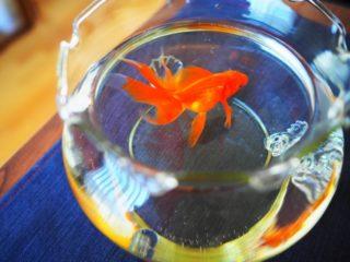 金魚を飼育する季節ごとのポイントとは!金魚を買う最適なタイミングも教えます