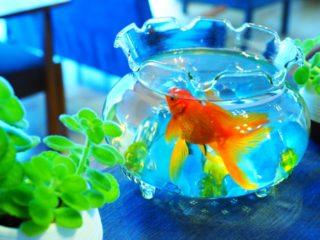 おしゃれな金魚鉢!ガラスやプラスチックのおすすめ商品ベスト10
