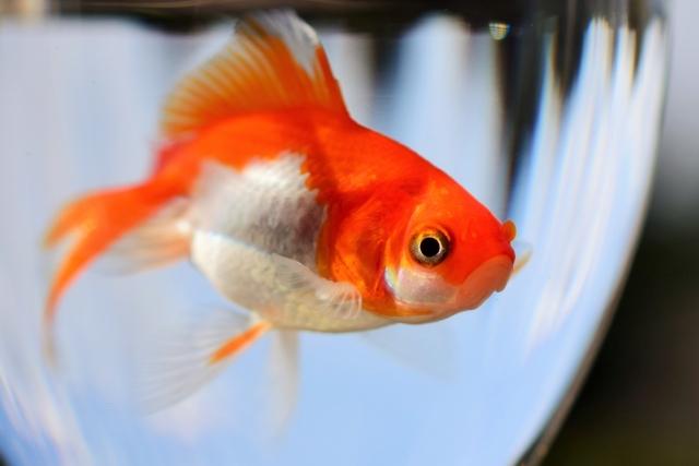 【プロが解説!!】金魚や熱帯魚を早く簡単に大きく育てる方法とは!?