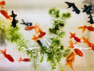 金魚の寿命は何年?お祭り金魚や琉金など種類によって違う!?