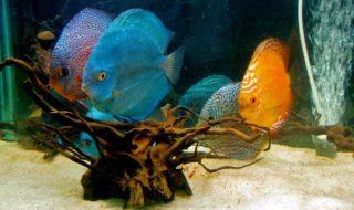 ディスカスと一緒に飼える魚や生き物は何がいる?ディスカスの混泳について