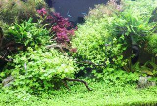 【前景草でおすすめの水草ベスト10】種類やレイアウトも紹介!