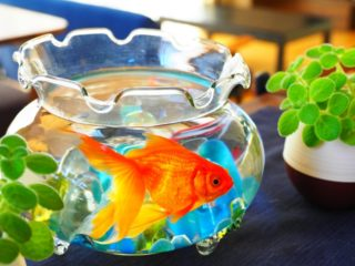 金魚を金魚鉢で飼育するときの注意点とおすすめの金魚鉢7選