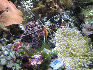 海水エビの飼育方法!水合わせや海水魚との混泳、飼いやすい種類とは
