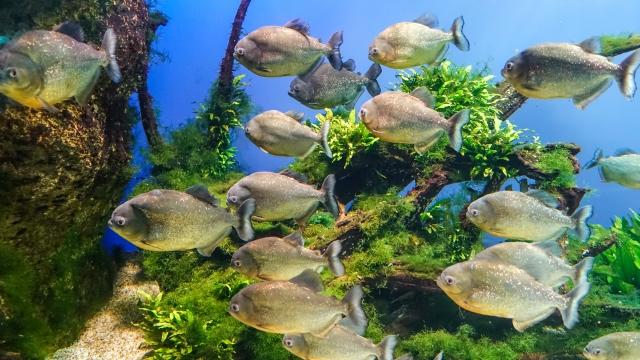 まとめ・ピラニアを家庭で飼育する方法を紹介!おすすめの水槽や餌、混泳方法を解説します