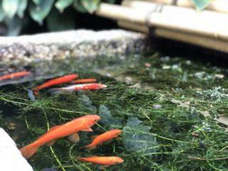 金魚を冬に飼育する方法!冬眠はさせたほうが良い?冬越しの方法教えます