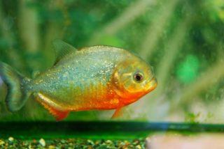 ピラニアを家庭で飼育する方法!おすすめの水槽や餌、混泳方法を解説