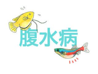 魚のお腹が膨らむ!腹水病とは・グッピーや金魚などかかりやすい魚と治療
