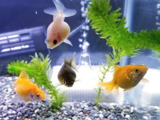 ちょうちんパールとは!飼育の基礎から上手に育てるポイント、混泳まで!