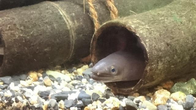うなぎの飼い方とは!稚魚からの飼育方法とエサやおすすめの飼育水槽