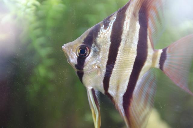 エンゼルフィッシュと一緒に飼える魚や生き物は何がいる? エンゼルフィッシュの混泳について
