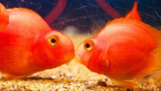 熱帯魚のペアを見分けよう! プロが選ぶペアで飼育を楽しめる熱帯魚5選