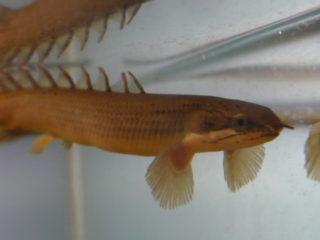 神秘の古代魚!ポリプテルスの種類と特徴、飼育方法や最大の魅力とは!