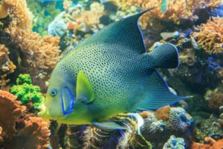 大型ヤッコは色彩変化が魅力的! 飼いやすい種類から共存可能なサンゴとは