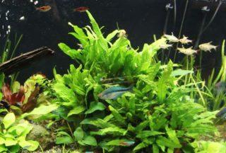 クリプトコリネを育てよう!種類や光量、肥料や水槽での増やし方とは