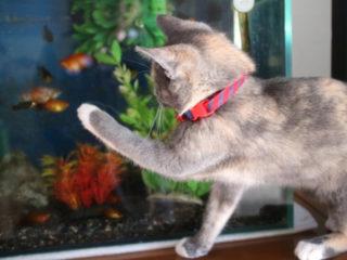 猫は金魚を食べるのか?熱帯魚と他の動物を一緒に飼うためのポイント