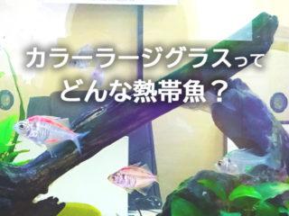 カラーラージグラスの色は塗料!?飼育方法と混泳などを解説します!