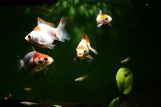 冬にメダカ・金魚にあげるエサは何がいい?消化の良い餌ベスト5と与え方