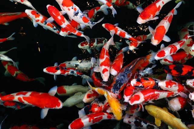 錦鯉の海外からも愛される魅力を解説!錦鯉を観賞できる癒しのスポット